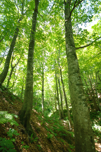 Beech forest on Shirakami Mountains