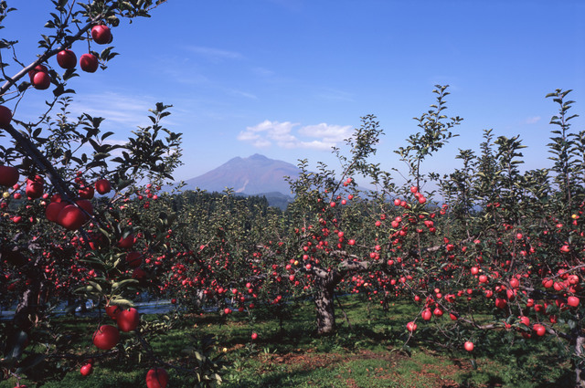 Mount Iwaki and an apple orchard