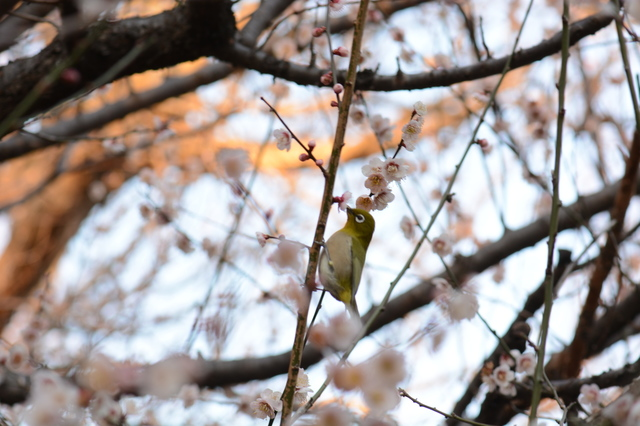 Mejiro on Ume tree