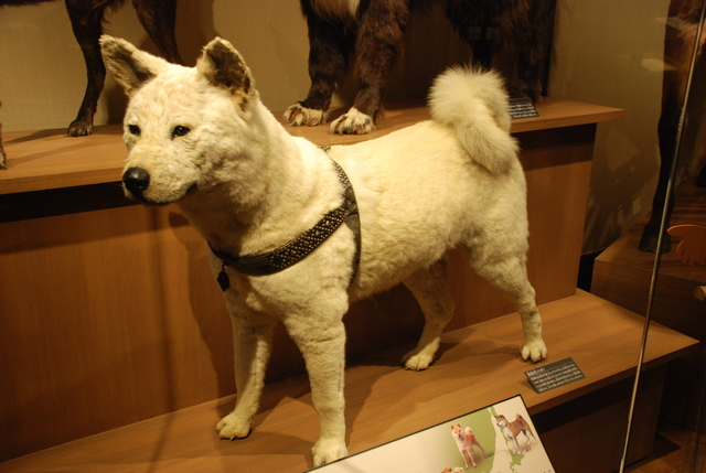 Stuffed specimen of Hachi-kō at National Museum of Nature and Science,Tokyo